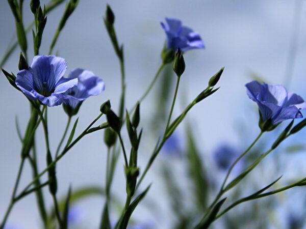 Flachs-Pflanze